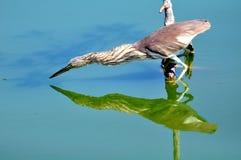 Fågel i naturen (den kinesiska dammhägret) Arkivbilder