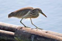 Fågel i naturen (den kinesiska dammhägret) Fotografering för Bildbyråer