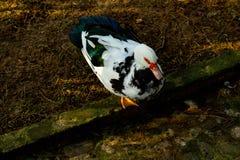 Fågel i parkera anka arkivfoto
