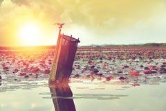 Fågel i sjön med rosa lotusblomma i soluppgång Royaltyfri Fotografi