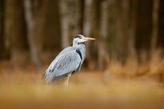 Fågel i skogsjön Heron i bevattna Grey Heron cinerea Ardea, fågelsammanträde, grönt träskgräs, skog i bakgrunden, Royaltyfria Foton