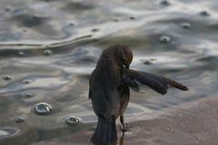 Fågel i springbrunn Arkivbild