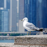 Fågel i staden Royaltyfri Bild