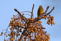 Fågel i trädet för vitt cederträ Arkivfoton