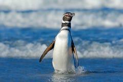 Fågel i vågen Pingvin i vattnet Fågel i havsvågorna Pingvinsimning i vågorna Havsfågel i vattnet Magellanic penna Arkivbild