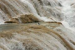 Fågel i vattenfallen av aguaen Azul i Mexico royaltyfri foto