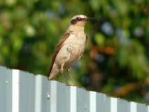 Fågel Kamenka i det löst Arkivfoto