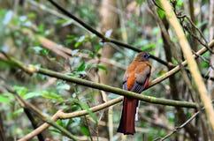 Fågel@KhaoYai nationalpark royaltyfria foton