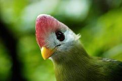 fågel krönad röd turaco Arkivfoton