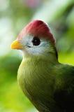 fågel krönad röd turaco Royaltyfria Bilder