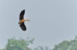 Fågel lesser vissla andflyg Royaltyfria Bilder