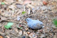 Fågel ljusblå quail royaltyfria bilder
