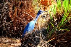 Fågel med blåa färger Arkivfoto