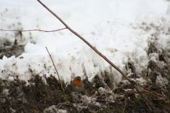 Fågel med bröstkorgfärg av apelsinen Royaltyfri Foto
