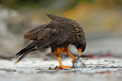 Fågel med bytefågelkadavret Caracaramat Matande uppförande för fågel RovStrieted caracara som sitter in på vagga, Falkland Islan Royaltyfria Foton
