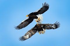 Fågel med fisklåset Eagles kamp på den blåa himlen Plats för djurlivhandlinguppförande från naturen Härliga Steller \ 's-havsörna arkivfoto