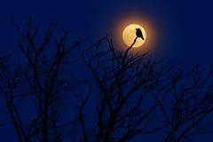 Fågel med månen Sen afton med fågeln för korpsvart svart skog som sitter på trädet, mörk dag, naturlivsmiljö Magisk natt med måne Royaltyfri Foto