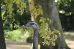 fågel mer stora rhea Royaltyfri Bild