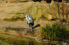 Fågel nära dammet Fotografering för Bildbyråer