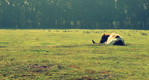 Fågel och ko tillsammans Arkivfoto