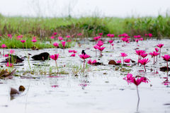 Fågel och lotusblomma Royaltyfri Foto