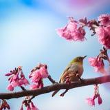 Fågel och rosa körsbärsröd blomning Royaltyfri Foto