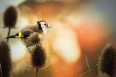 Fågel och tistel Arkivfoto