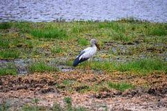 Fågel Openbill Arkivbild