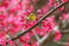 Fågel orientaliskt Vit-öga Royaltyfria Foton