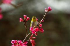 Fågel orientaliskt Vit-öga Royaltyfri Bild