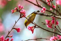 Fågel orientaliskt Vit-öga Royaltyfri Fotografi