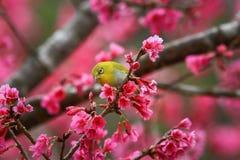Fågel orientaliskt Vit-öga Arkivfoto