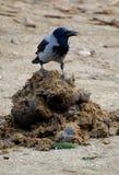 Fågel på avföring Arkivfoton