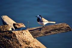Fågel på bevattna Fotografering för Bildbyråer