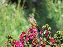 Fågel på blommor Fotografering för Bildbyråer