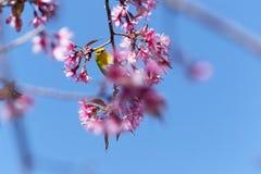 Fågel på Cherry Blossom och sakura Royaltyfria Bilder