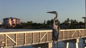 Fågel på den Fort Myers stranden som fiskar pir lager videofilmer