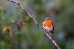 Fågel på en förgrena sig fotografering för bildbyråer