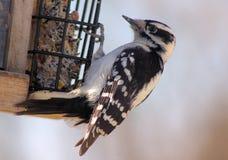 Fågel på en förlagematare Arkivbild
