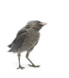 Fågel på en vit bakgrund. vertikalt foto. Royaltyfri Fotografi
