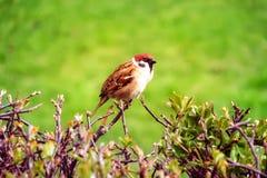 Fågel på filialen av en buske Royaltyfria Foton