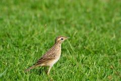 Fågel på grönt gräs arkivfoto