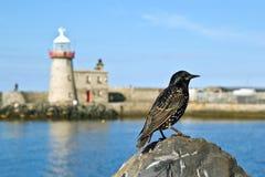 Fågel på hamnen av Dublin Howth Arkivfoton