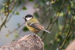 Fågel på journal med suddig bakgrundsgreattitt Royaltyfria Bilder