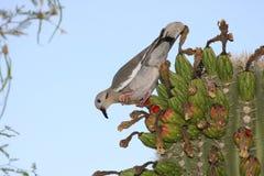 Fågel på kaktuns Fotografering för Bildbyråer