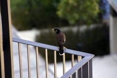 Fågel på kanten av balkongen Arkivfoton