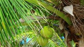 Fågel på kokospalmen arkivfilmer