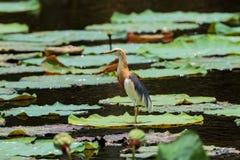 Fågel på lotusblommabladet Arkivfoto