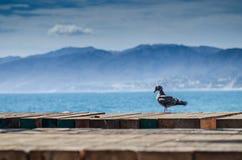 Fågel på Santa Monica Pier Arkivfoton