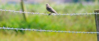 Fågel på taggtråd 3 Arkivbilder
